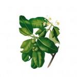 Callophyle